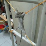 funny rat hanged pictures