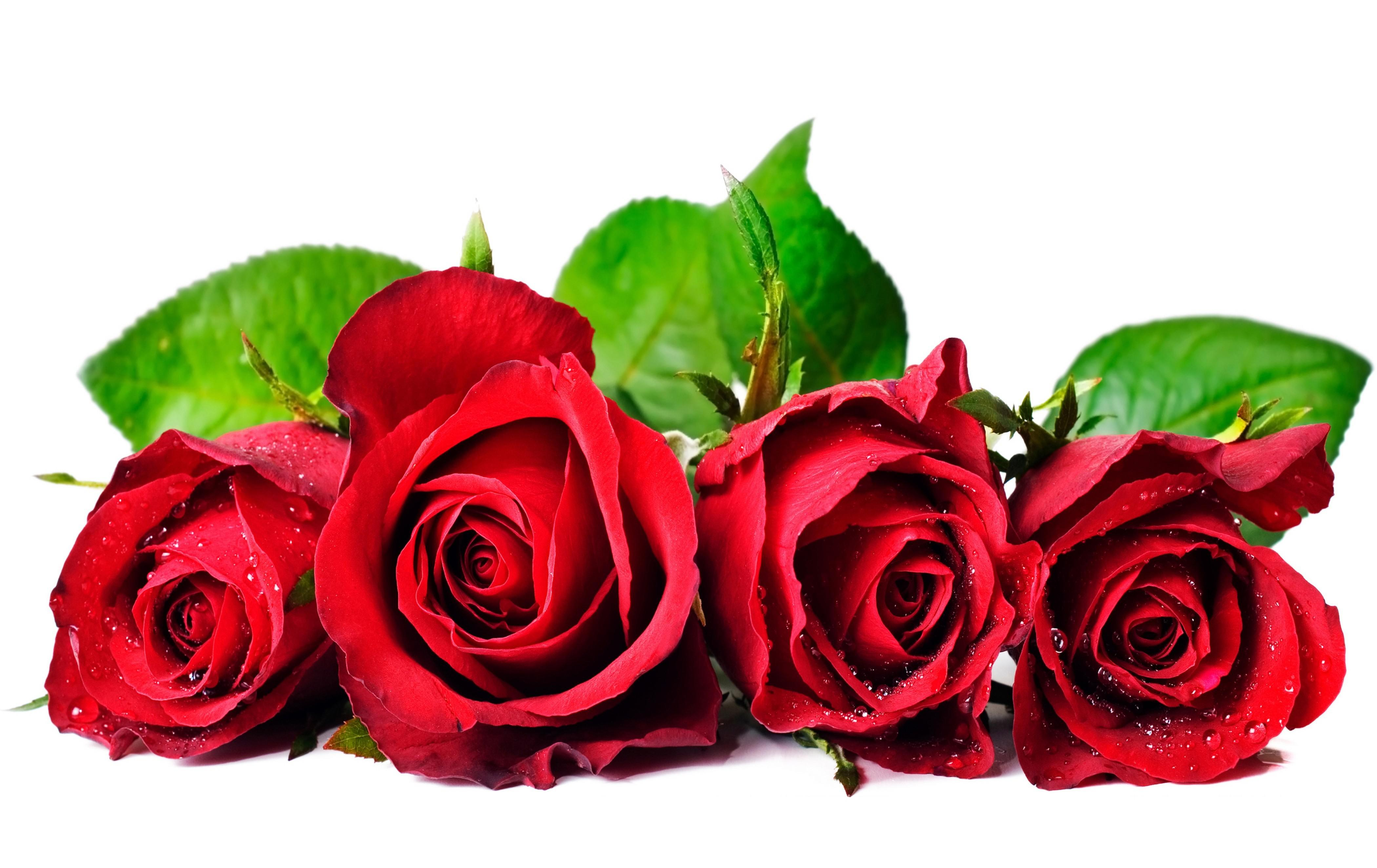 Red-Rose-pictures-webstudy.pk